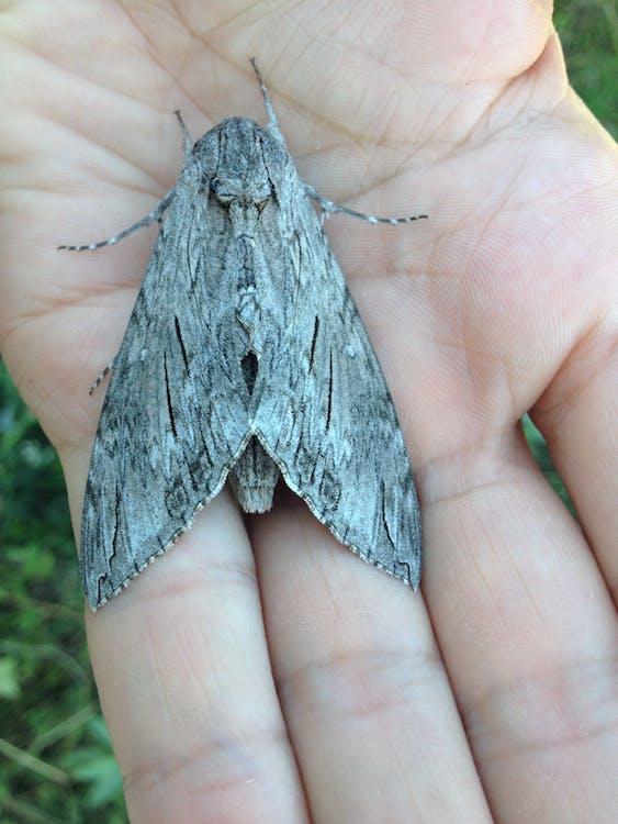 Huge gray butterfly