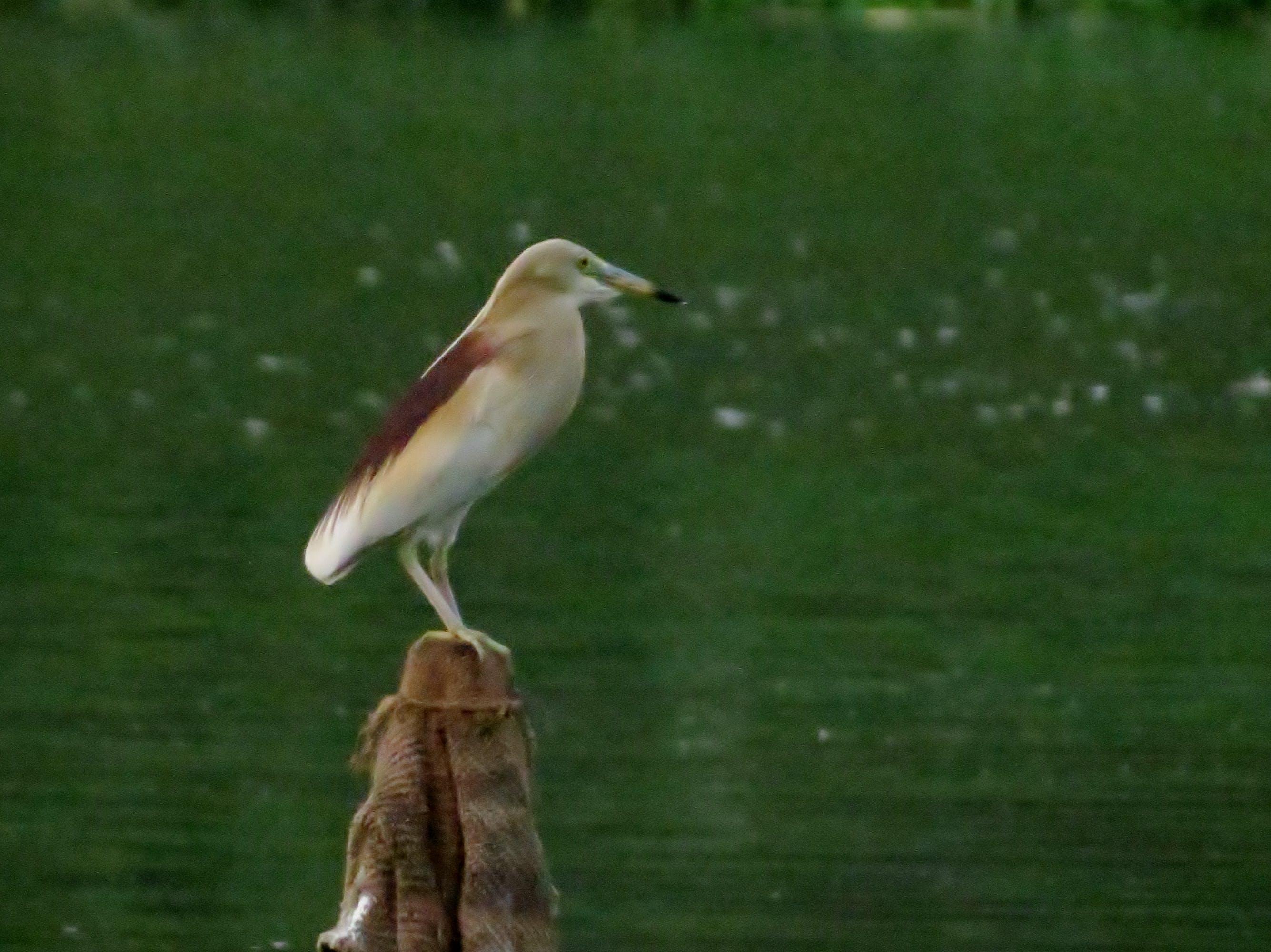 Free stock photo of bird, siva301in