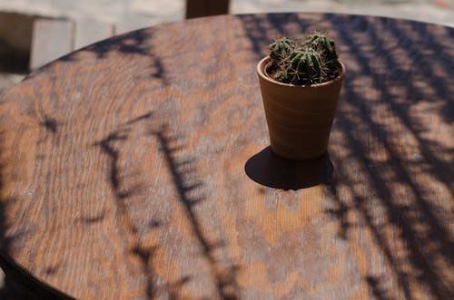 Free stock photo of cactus, plant