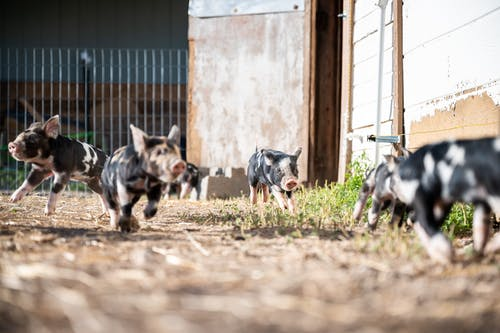 Ground level of little spotted domestic kunekune pigs walking in paddock in farmland