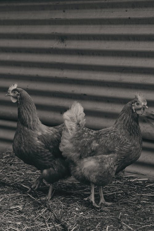Grayscale Photo of Two Chicken