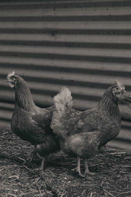 Photos gratuites de abri de jardin, animal, barrière, cabane