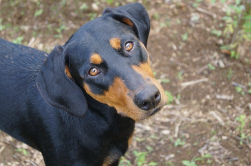 Free stock photo of black, black dog, doberman