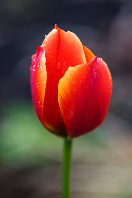 Red and Yellow Tulip Flower in Selective Focus Photography