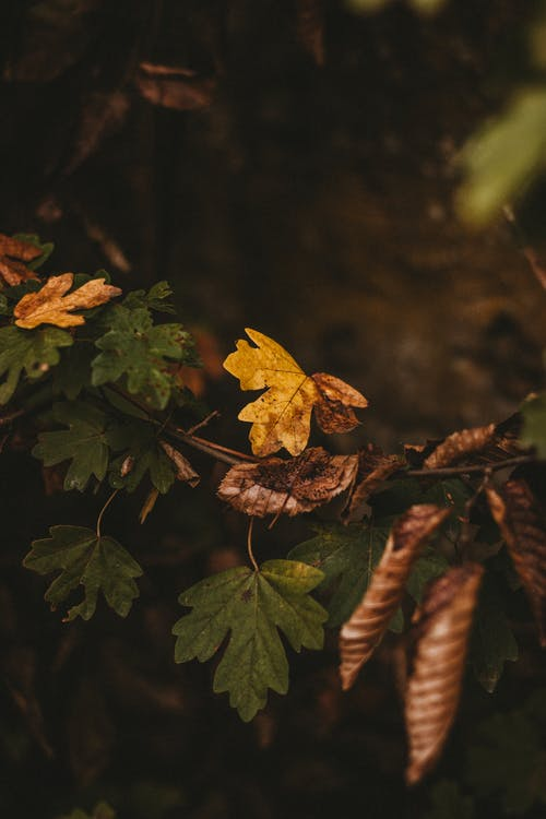 Multicolored maple leaves grow on branch and begin to wither and falling away from branch on blur background