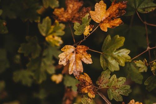Ảnh lưu trữ miễn phí về cái lá, cây, cây phong