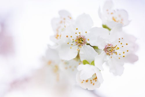 White Cherry Blossoms in Selective Focus Photography