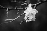 black-and-white, nature, flowers