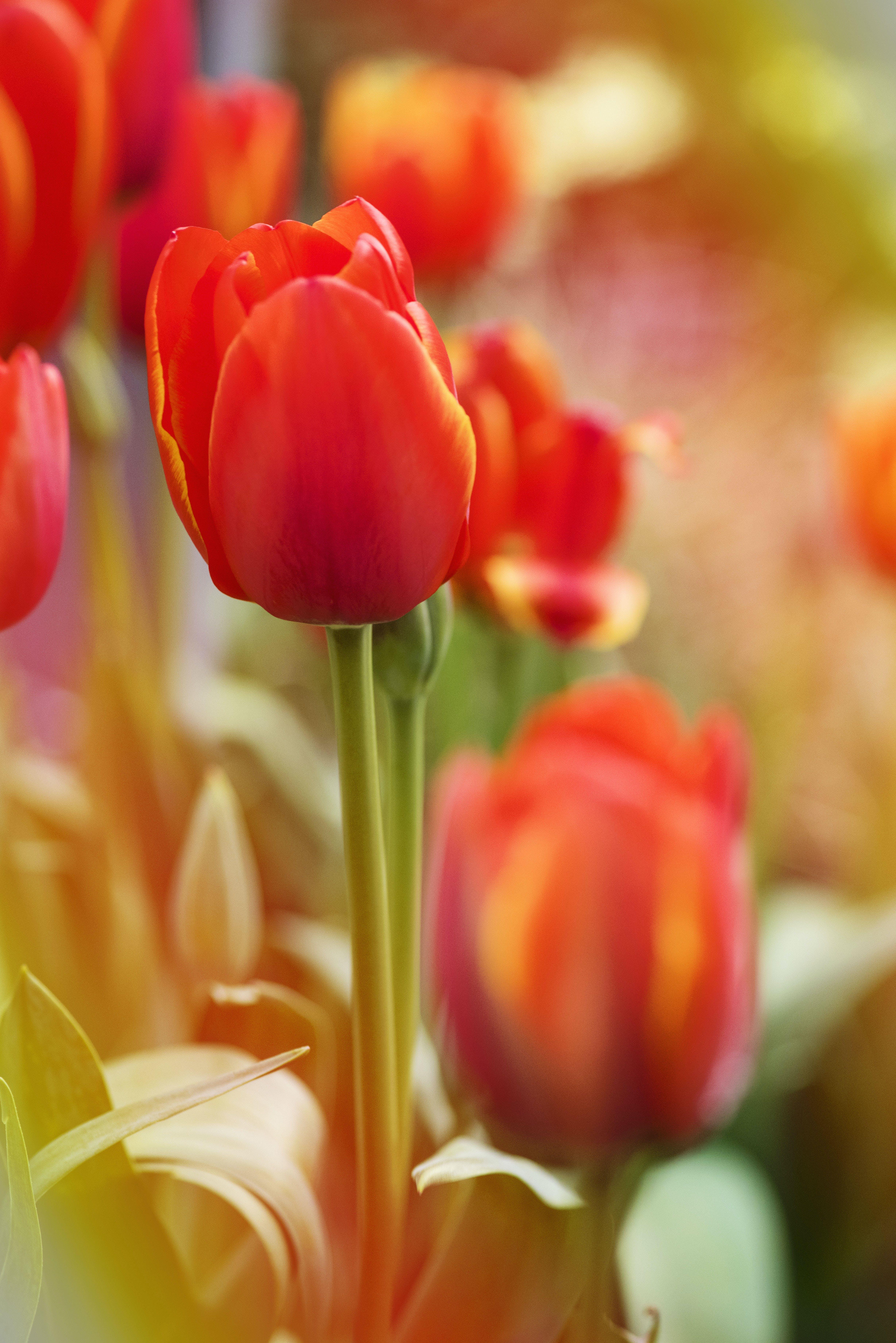 คลังภาพถ่ายฟรี ของ กลีบดอก, การเจริญเติบโต, กำลังบาน, ดอกทิวลิป