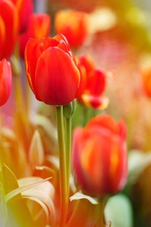 Darmowe zdjęcie z galerii z botaniczny, czerwony, flora, jasny