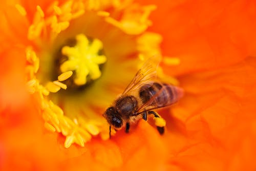 Bee on Orange Flower