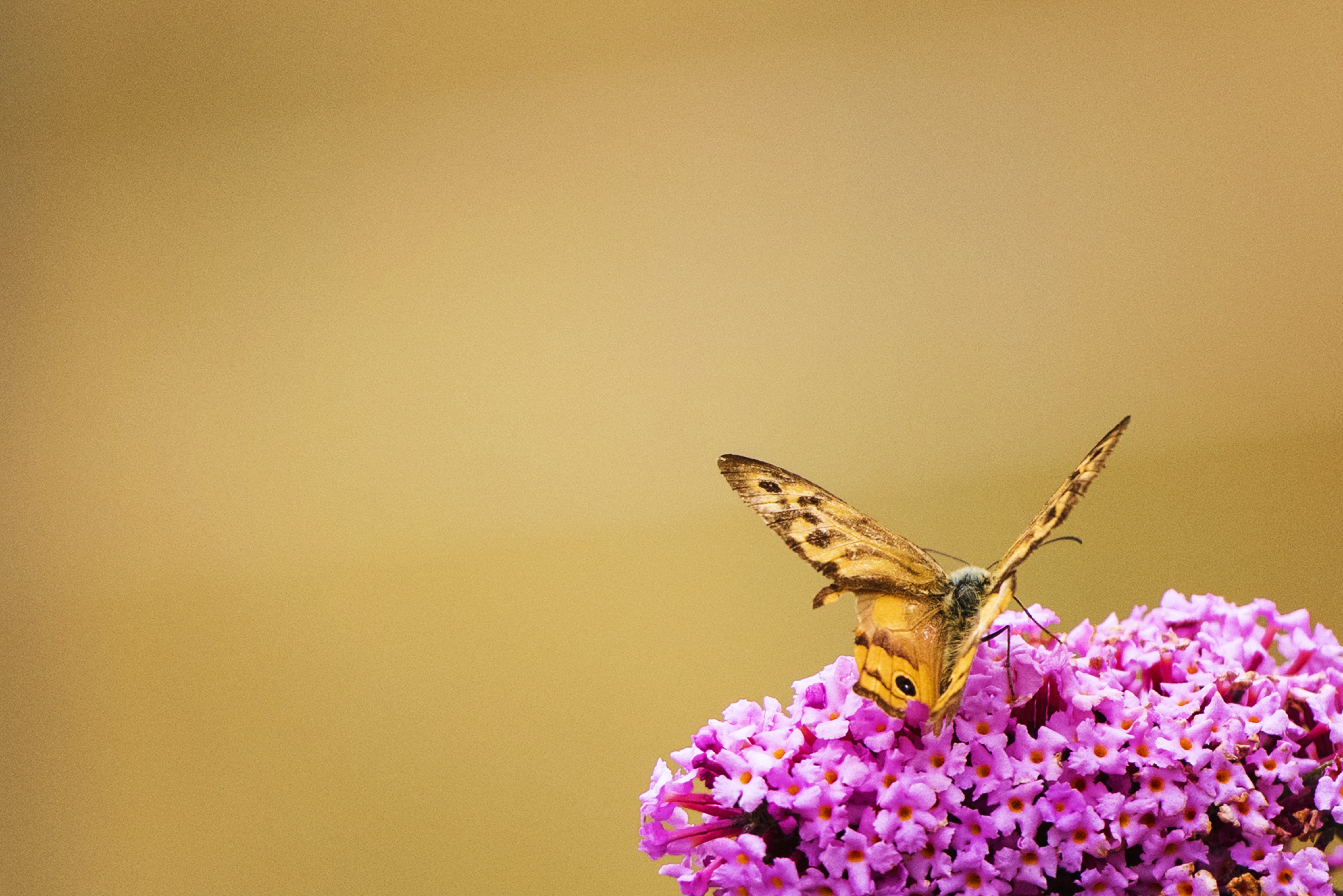 Brown Monarch Butterfly Perch on Pink Clusted Flwoers