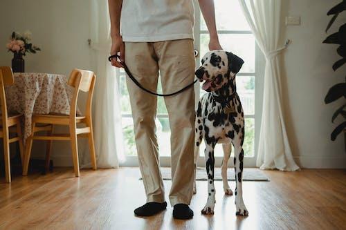 ダルメシアン, ペット, 動物の無料の写真素材