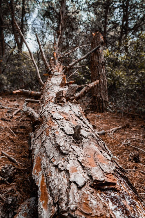Immagine gratuita di abbaiare, alberi forestali, albero