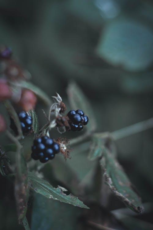 Free stock photo of autumn, berries, berry