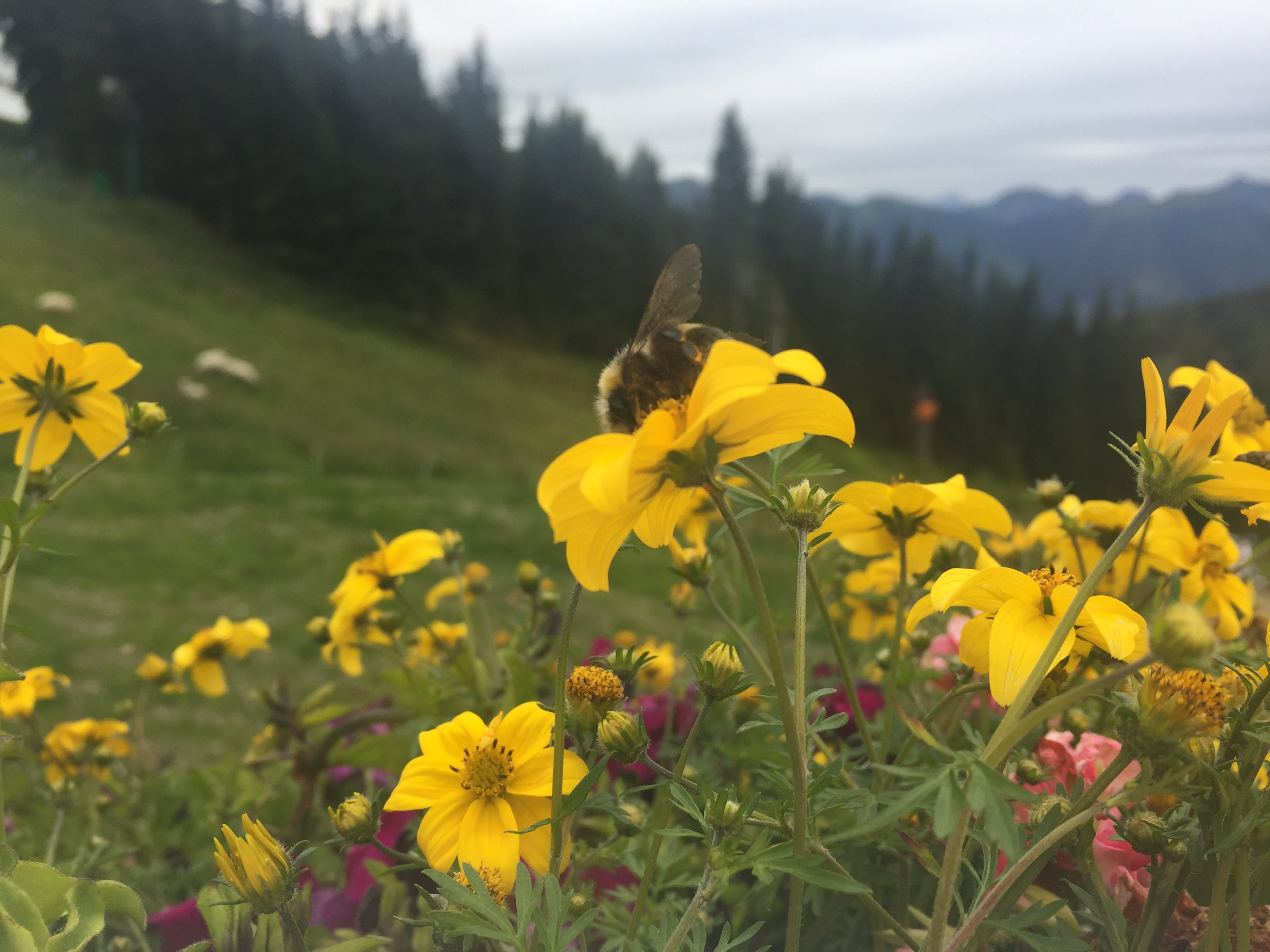Free stock photo of bumblebee, flower bed, mountain