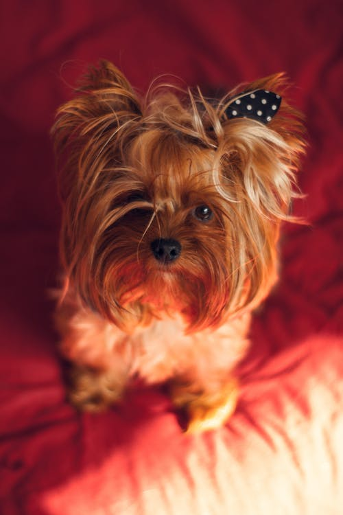 Brown Long Coated Small Dog Wearing Black and Red Polka Dot Bowtie