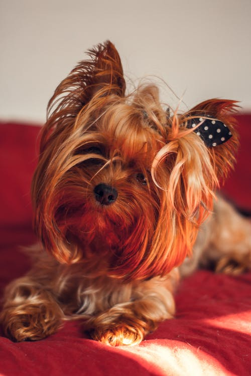 Brown Yorkshire Terrier Puppy on Red Textile