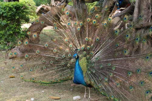 A Peacock Spreading its Feathers