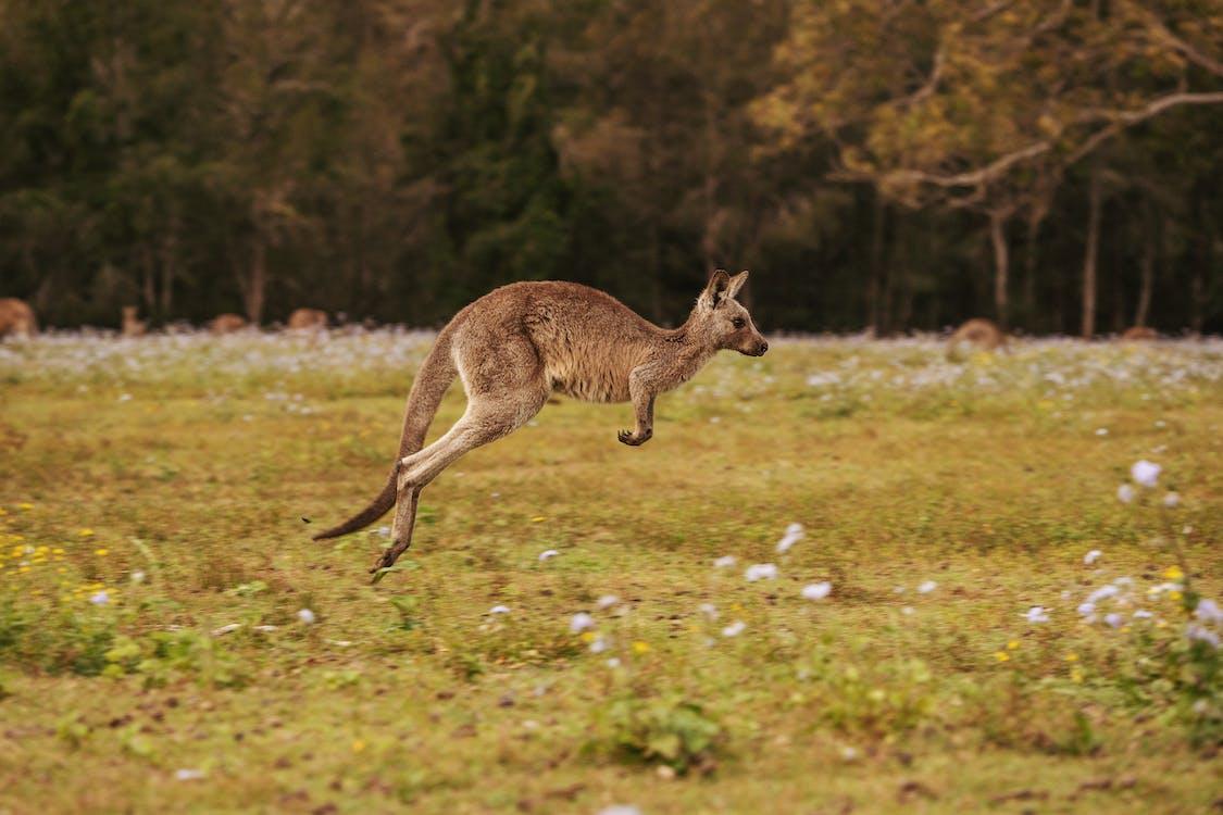 Brown Kangaroo on Green Grass Field