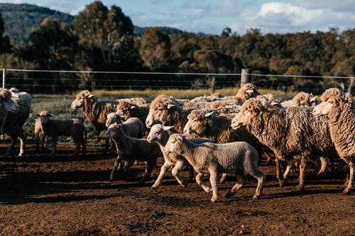 Flock of sheep and lambs walking on farmland against mountain