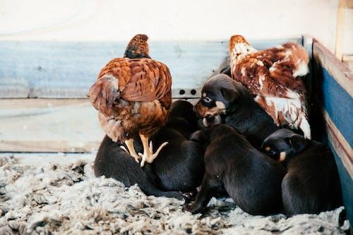 Kostnadsfri bild av allätare, bondgård, boskap
