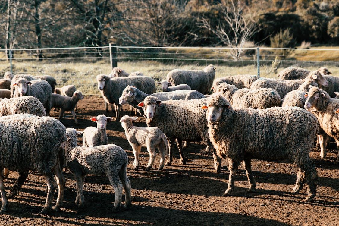 Funny sheep walking in farmland enclosure