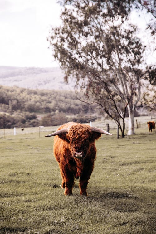Full body serious fluffy bull with long horns standing on grassy lush meadow and looking at camera attentively in summer village