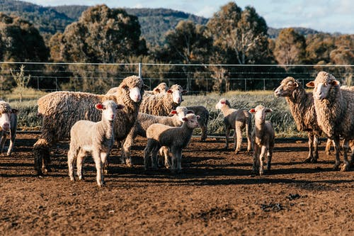 Flock of domestic sheep and cute lambs standing in enclosure in farm on clear summer day