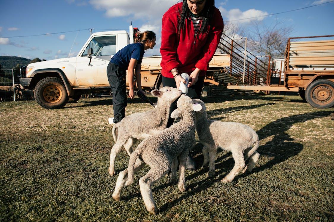 Farmer feeding cute lambs with milk