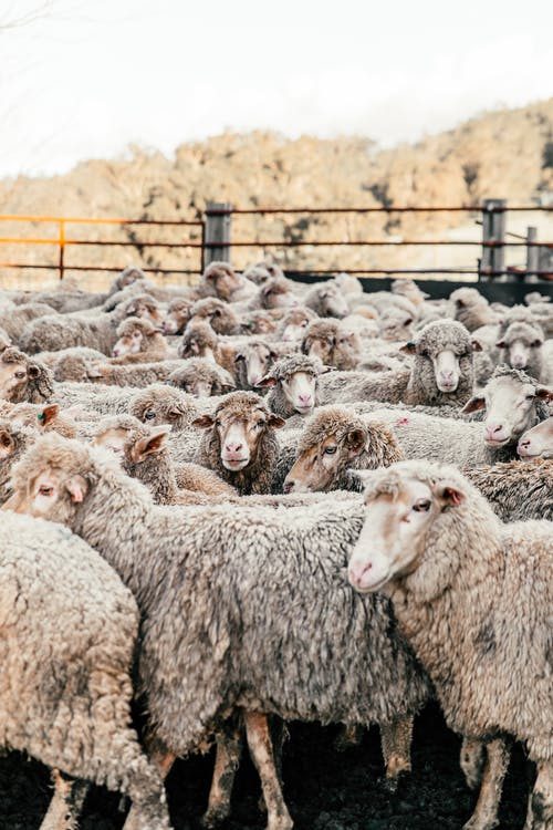 Flock of many domestic sheep walking in enclosure in farmyard on sunny summer weather