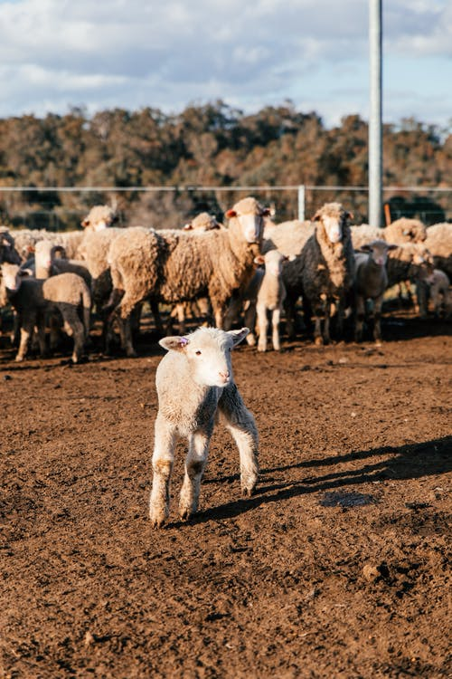 Adorable little lamb standing near flock of sheep in enclosure in sunny farmland