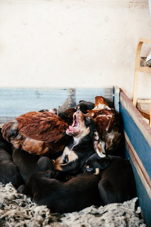 Funny little puppy yawning and lying near sleeping brothers and chickens in wooden cage in countryside