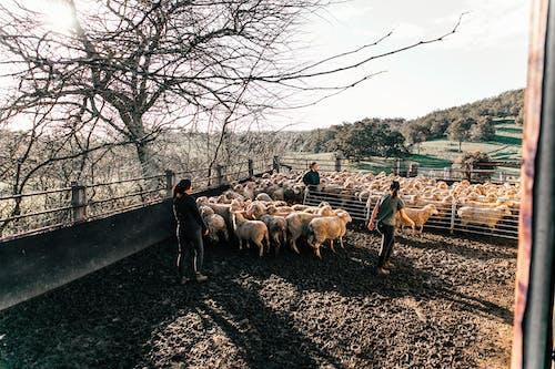 Faceless farmers walking sheep in enclosure in farmland