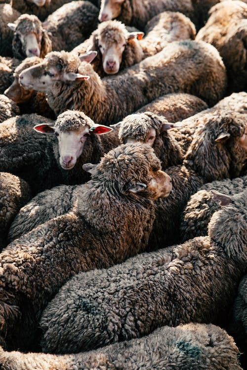From above big flock of many domestic sheep with fluffy fur standing close in enclosure in sunny ranch