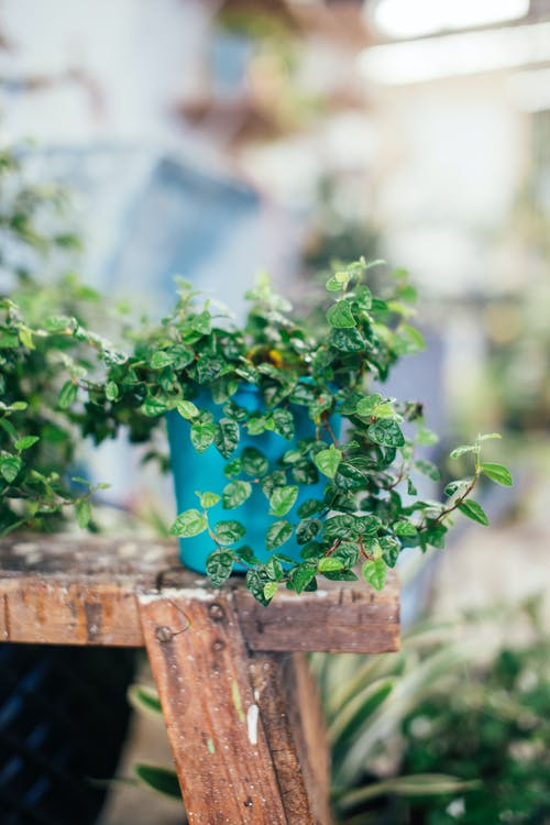Potted plant with fresh verdant leaves on wooden shelf in yard on blurred background