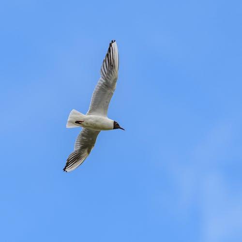 Black Headed Gull Flying in Sky