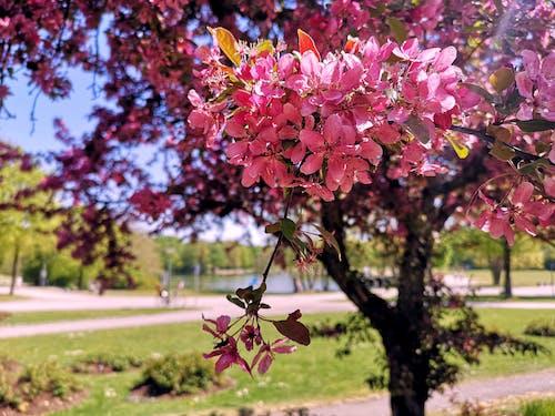 Kostenloses Stock Foto zu baum, blumen, flower~~pos=trunc, park