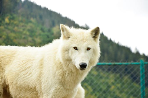 White Wolf Standing on Green Grass Field