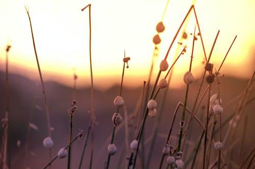 White Dandelion Flowers during Sunset