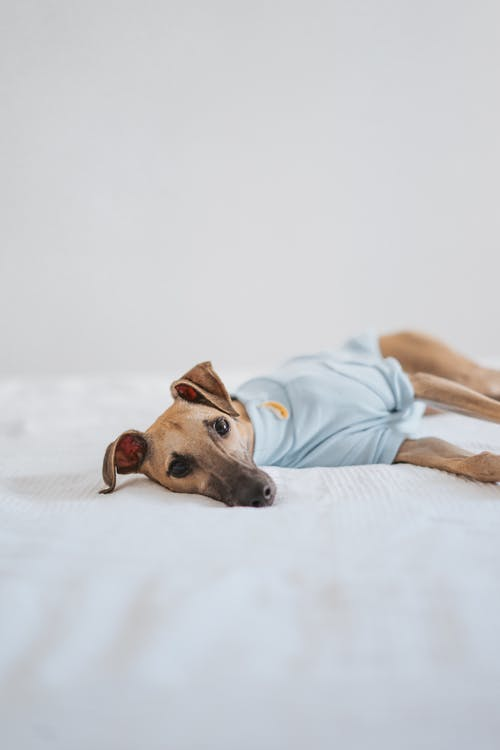 Adorable little whippet puppy in clothes looking at camera while lying on bed with white sheet in light room inside