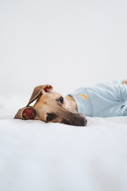 Small whippet lying on bed