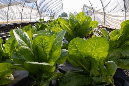Photos gratuites de agbiopix, agriculture, laitue, produire