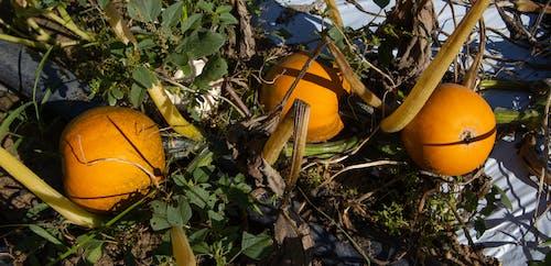 Photos gratuites de agbiopix, agriculture, faites votre choix, orange