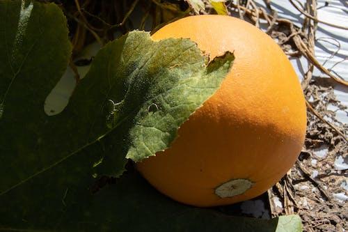 Photos gratuites de agbiopix, agriculture, citrouille, petit