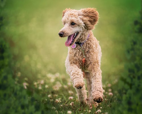 Adorable fluffy active Poodle dog with stylish collar running on grassy mead with tongue out on sunny day