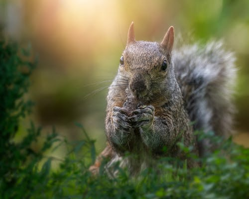 Adorable squirrel nibbling nut in park