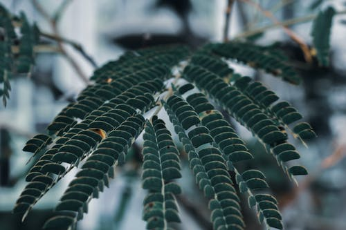 Silk tree branch with small leaves in garden