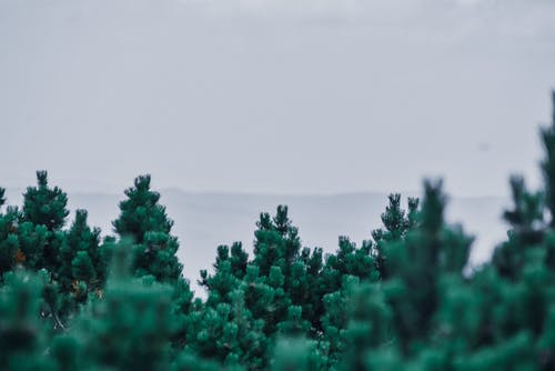 Coniferous trees growing against foggy hilly terrain