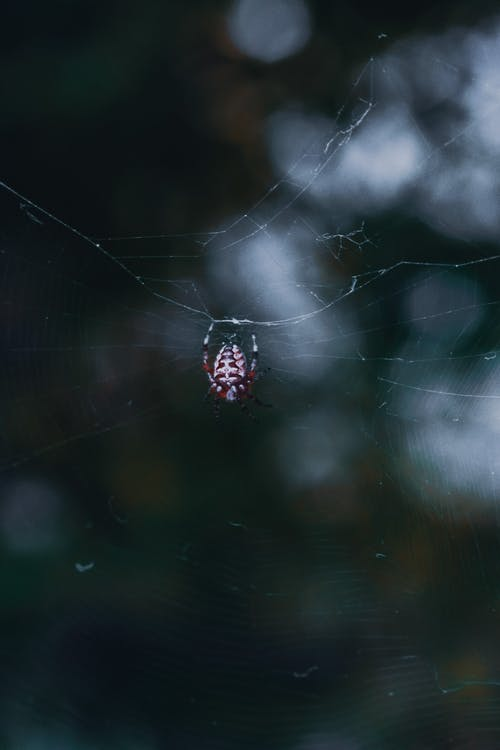 Araneus diadematus spider on web in dark woods